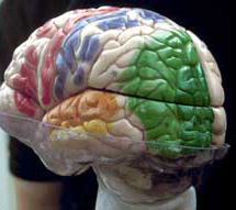 Model of the brain, left half of the visual cortex green marked