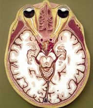 Cross section of the brain